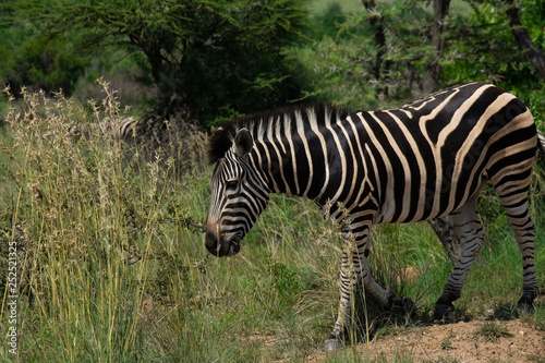 Zebra eating from a large patch of grass © Pathy