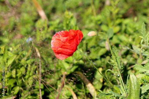 Poppy herbaceous flowering plant with single bright red fully open flower pointing towards sun next to closed flower bud with other plants in background on warm sunny day - 252542521