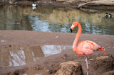 A flamingo by itself on a small pond.