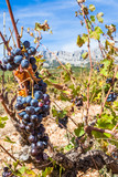 Vignes de Puyloubier, montagne Sainte-Victoire