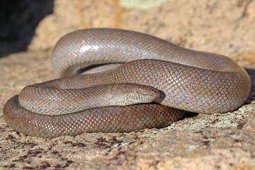 Lichanura orcutti Rosy Boa Snake