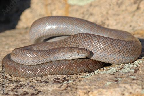 Lichanura orcutti Rosy Boa Snake - 252557501