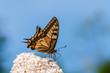 Butterfly on white Buddleja davidii