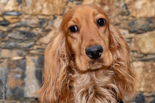 mata magnetyczna cute puppy dog cocker spaniel portrait looking at you in the courtyard