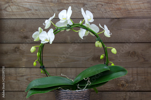 Beautiful white orchid in a flowerpot - phalaenopsis - 252591750