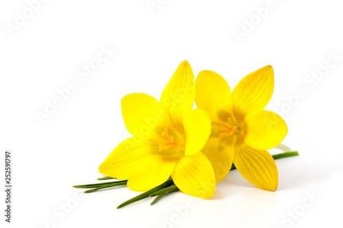 Leinwandbild Motiv crocus - one of the first spring flowers