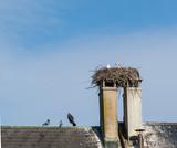 Sorch im Nest auf Kamin auf dem Hausdach