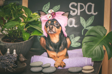 Cute pet relaxing in spa wellness . Dog in a turban of a towel among the spa care items and plants. Funny concept grooming, washing and caring for animals © Mariana