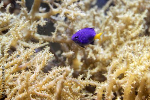 mata magnetyczna purple fish with yellow tail
