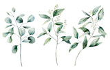 Watercolor silver dollar and seeded eucalyptus set. Hand painted eucalyptus branch and leaves isolated on white background. Floral illustration for design, print, fabric or background. - 252647791