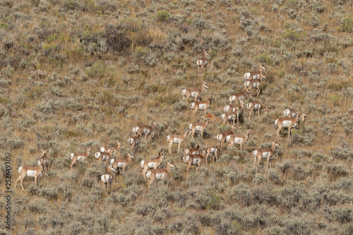 Herd of Pronghorn antelope in Fall © natureguy