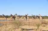 Fototapeta Sawanna - Namibia: A herd of girafs in Etosha National park. © gmcphotopress