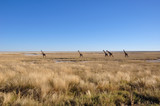 Girafs at the boarder of the Etosha salt pans