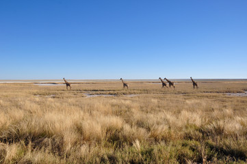 Girafs at the boarder of the Etosha salt pans