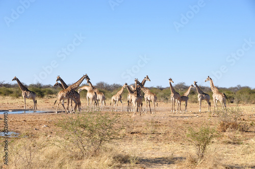 Namibia: A herd of girafs in Etosha National park. © gmcphotopress
