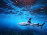 Blacktip reef shark swiming in deep blue sea with light rays underwater