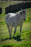 Fototapeta Konie - Caballo blanco © Cebreros