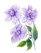 Beautiful purple gardenia flower on a twig with green leaves. Tropical flower isolated on white background. Watercolor painting