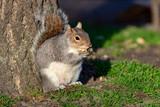 Fototapeta Londyn - Cute squirrel eating nuts on the garden of Saint James`s park of London © cristianbalate