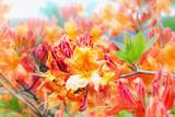 Azalea plant blooming in spring