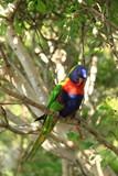 Fototapeta Rainbow - Papuga © kruffka