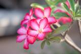 Fresh pink azalea flowers on blur nature background.