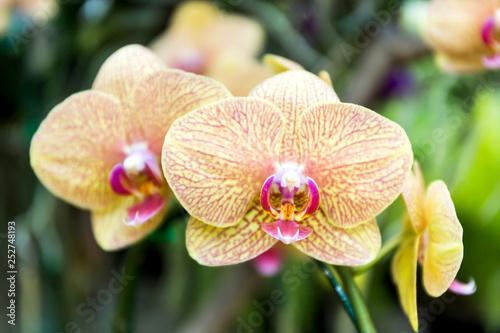 Phalaenopsis orchid - 252748193