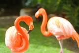 Pink Flamingo in nature