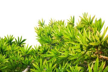 bamboo trees on white background © amstockphoto