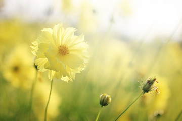 Beautiful nature close up yellow cosmos flowers background in spring.