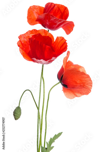 Leinwanddruck Bild  bouquet of red poppies isolated on white background.