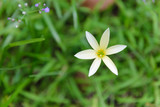 Beautiful white rain lily, Zephyranthes Lily