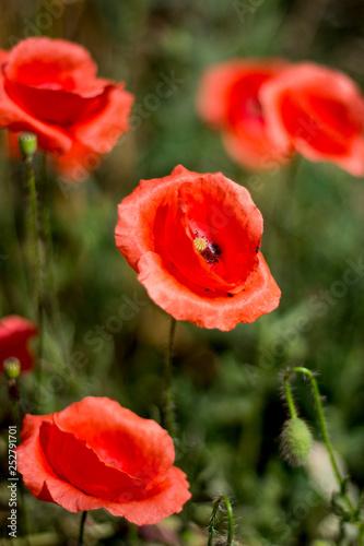Flor de amapola - 252791701