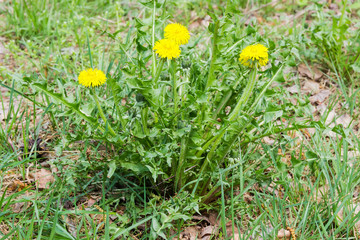 Single dandelion plant with flowers and basal rosette of leaves