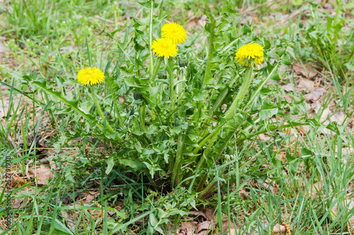 Single dandelion plant with flowers and basal rosette of leaves - 252791938