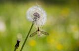 Fototapeta Dmuchawce - Crane fly on dandelion © bepsphoto