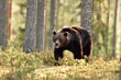 Brown bear in the summer forest, natural habitat