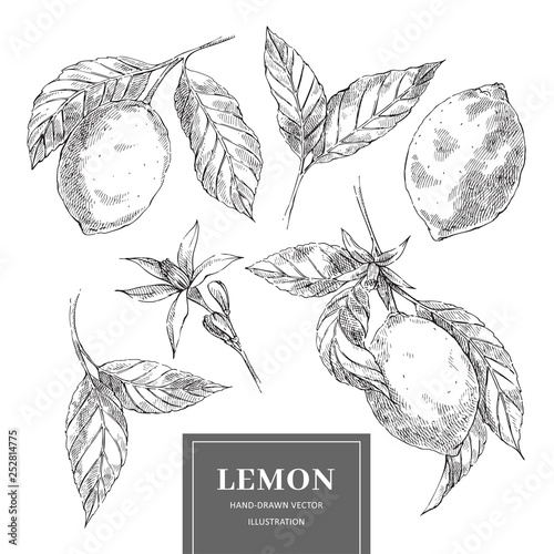 Lemon hand drawn vector illustrations collection