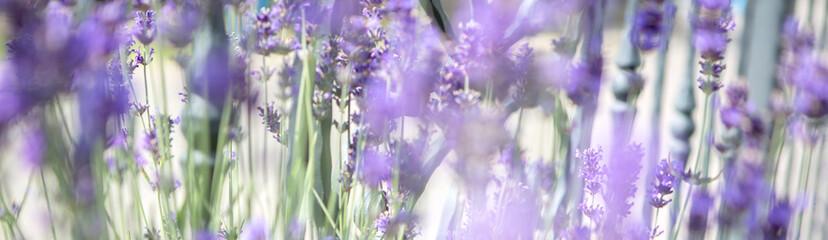 Panorama of purple lavender field