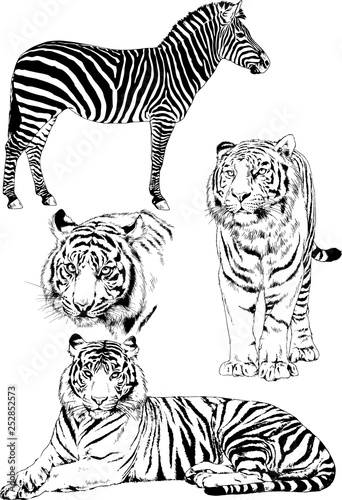 vector drawings sketches different predator , tigers lions cheetahs and leopards are drawn in ink by hand , objects with no background	 - 252852573