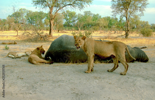 three lions at elephant carcass