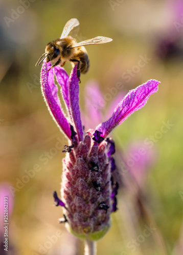 Abelha de mel em flor de lavanda - 252862393