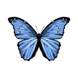 Hand drawn Blue Morpho butterfly - 252869303