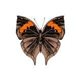 Orange oakleaf or dead leaf - Kallima inachus - butterfly - 252869376