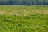 A stork walks on the grass in summer.