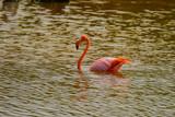 Flamingo isla isabela
