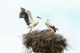 Junger Storch übt Fliegen