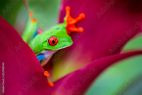 Leinwanddruck Bild red eyed tree frog from the tropical jungle of Costa RIca, Nicaragua and Panama, a macro of an exotic rain forest animal