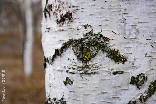 pattern in the form of an eye on a birch bark - 252919155