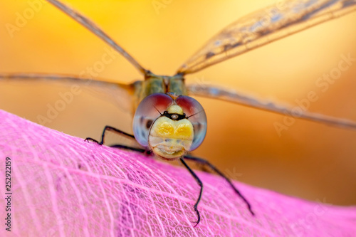 Macro shots, Beautiful nature scene dragonfly.  - 252922159